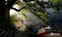 百年老茶树